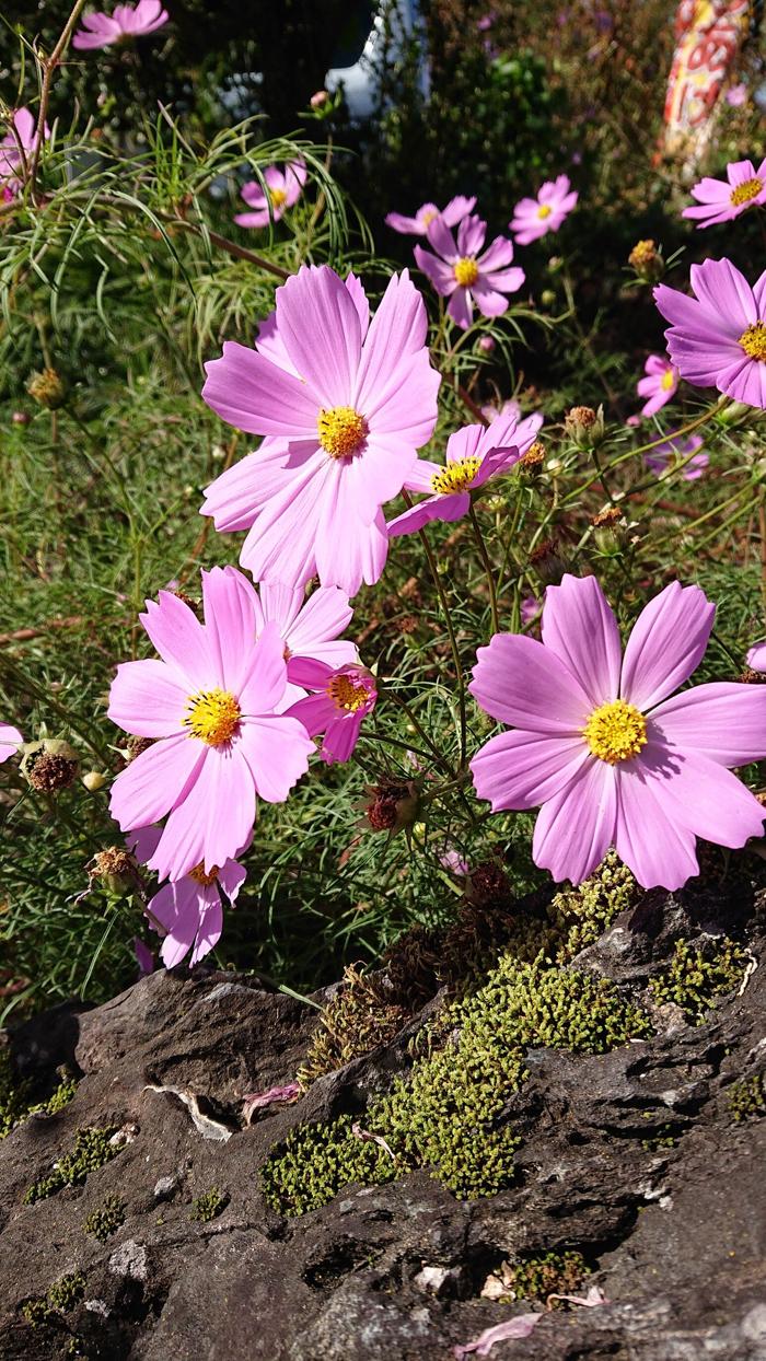 コスモスの花のよう。サムネイル
